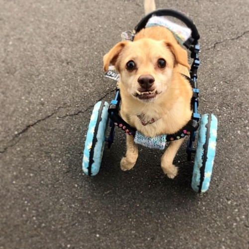 I�m always amazed of what this little tiny body is capable of doing. #daisy #disabled #daisyabled #handicappedpets https://www.instagram.com/p/BqqeYWvA8Bk/?utm_source=ig_tumblr_share&igshid=x4pcmrq279lh